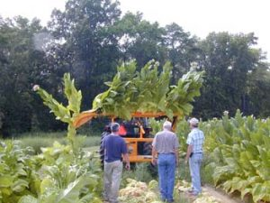 Photo of a machine harvesting tobacco leaves.